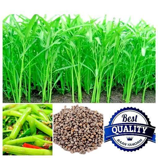 เมล็ดพืช Seeds ผักบุ้งจีน ใบไผ่ Chinese Morning Glory เมล็ดพันธุ์ คุณภาพ 100 กรัม 1 600 เมล็ด กรุงเทพมหานคร