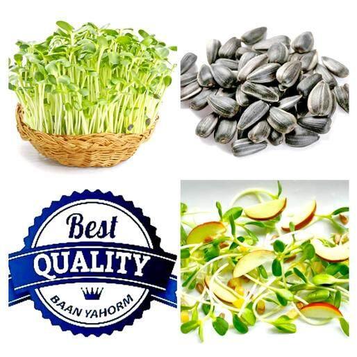 ราคา เมล็ดพืช Seeds ทานตะวัน งอก Sunflower Sprouts เมล็ดพันธุ์ พรรณไม้ คุณภาพ 60 กรัม 500 เมล็ด ถูก