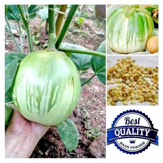 ราคา เมล็ดพืช Seeds มะเขือยักษ์เขียว หยกภูพาน Green Giant Eggplant เมล็ดพันธุ์ 20 เมล็ด เป็นต้นฉบับ