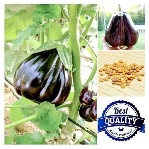 ซื้อ เมล็ดพืช Seeds มะเขือยักษ์ สีม่วง Giant Purple Eggplant เมล็ดพันธุ์ คุณภาพนำเข้า 30 เมล็ด ใหม่ล่าสุด