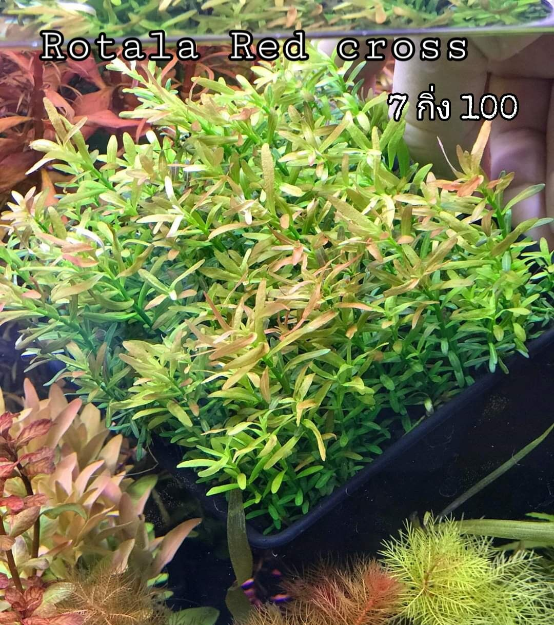 Rotala Red Cross