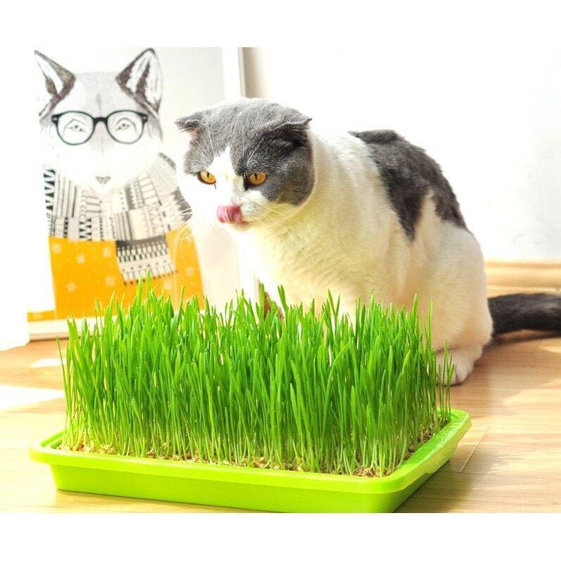 P159 ชุดปลูกข้าวสาลีแมว Hydromonic เมล็ดข้าวสาลี หญ้าแมวแบบถาด สินค้าดี ราคาถูก พร้อมส่งในประเทศไทย.