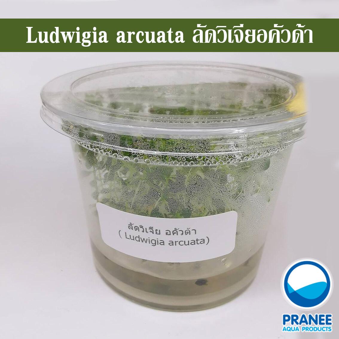 ลัดวิเจียอคัวด้า Ludwigia arcuada (เนื้อเยื่อ)