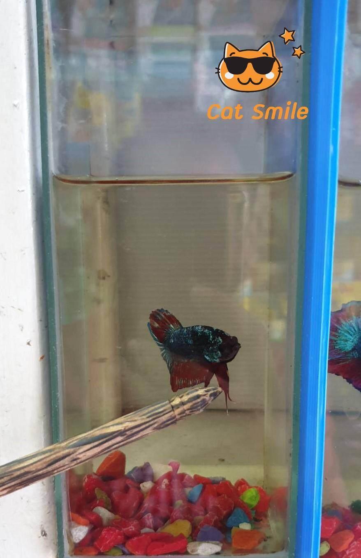 สวิง กระชอน สวิงปลากัด ผ้าร่ม ตักทั้งน้ำ ป้องกันปลาช้ำ แบบกลม หน้ากว้าง 6 cm.สามารถใช้ท้าย ล่อปลาได้
